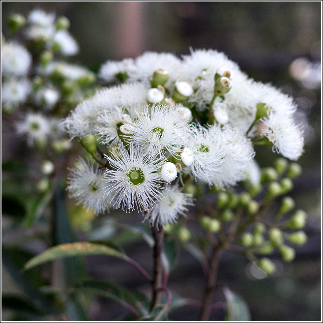 Marri flowers are normally a cream colour these are white!!!!!