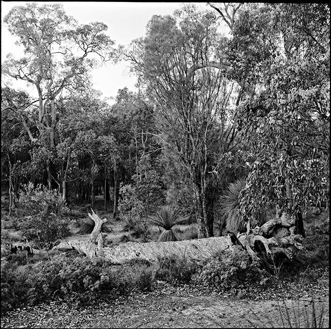 Fallen tree Darling Range Jarrah Forest