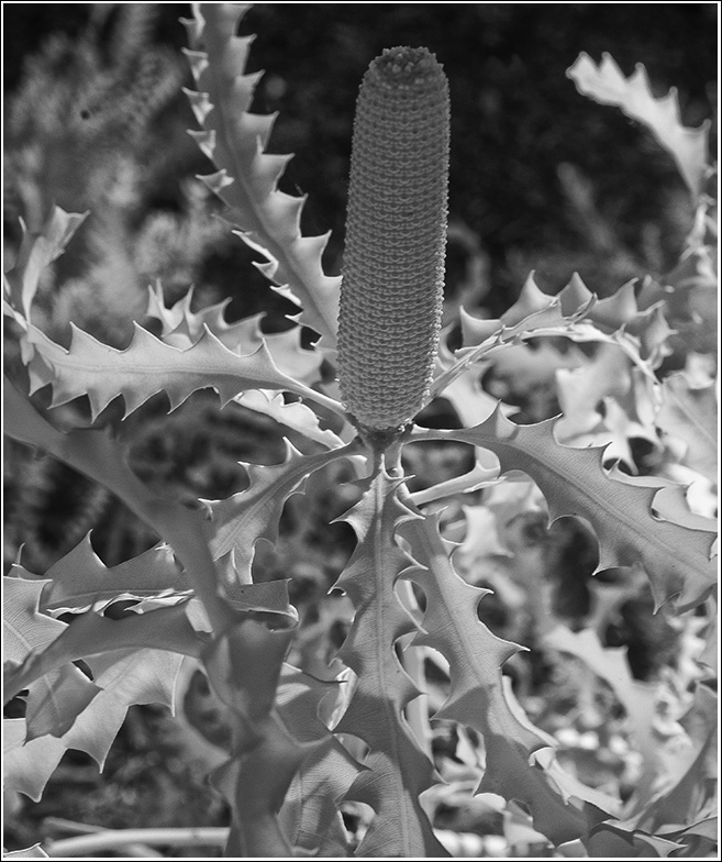 A rare banksia Kings Park Western Australia 