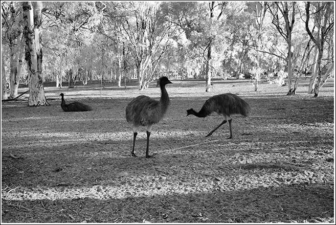 Wandoo woodland is perfect habitat for emu