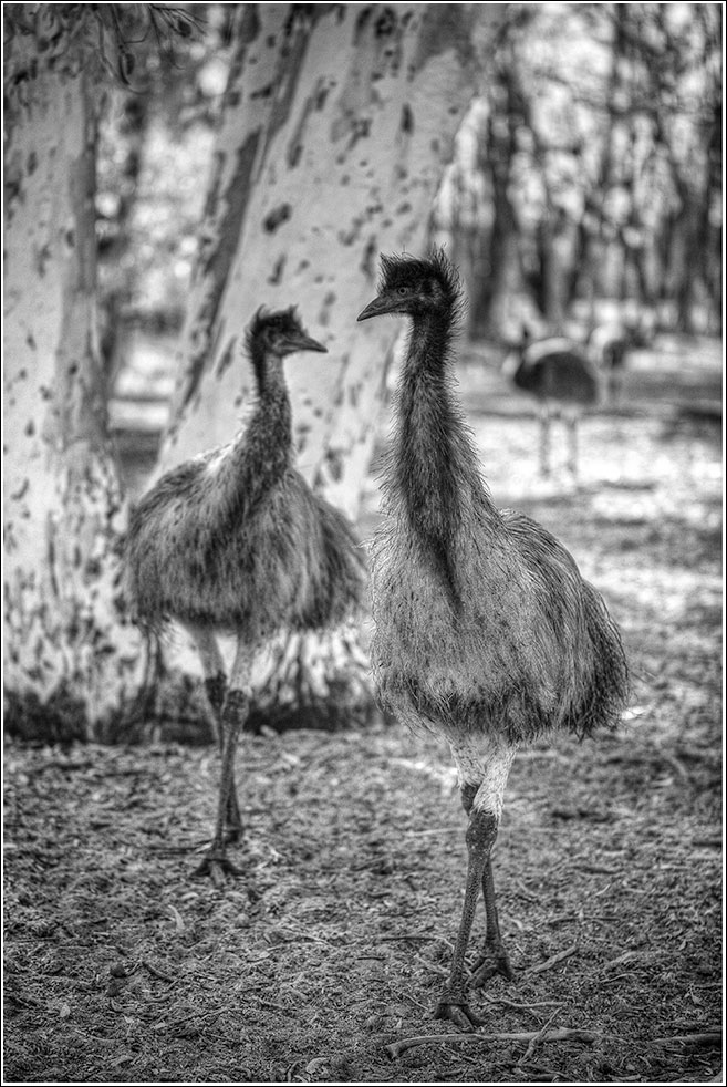 Emus in bloomers and tutus...