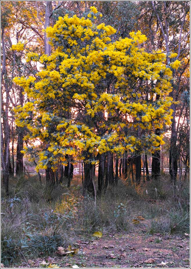 Cootamundra-wattle-sunset