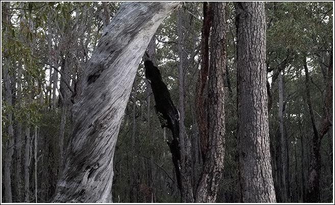 Marri trunks in the Jarrah forest
