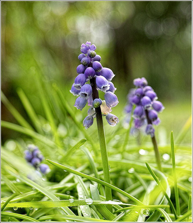 Grape hyacinth or Muscari neglectum