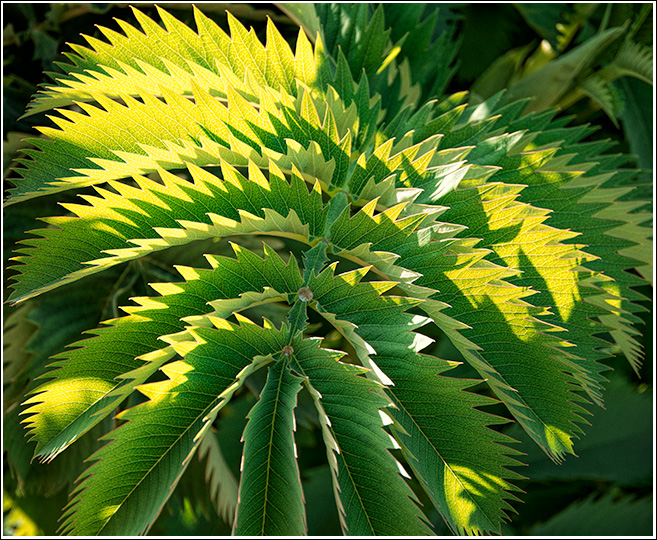 Melianthus major is a species of flowering plant in the family Melianthaceae. It is an evergreen suckering shrub, endemic to South Africa and naturalised in India, Australia and New Zealand