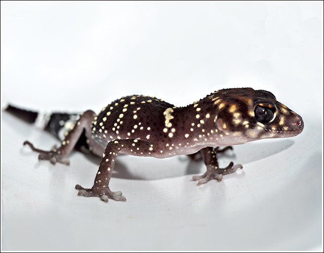 Barking Geko or Underwoodisaurus milii are delightful creatures and they have incredibly long lasting sex that puts human sex to shame!