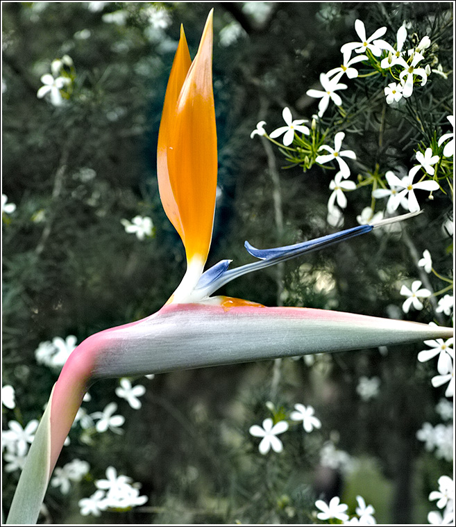 May a Bird-of-paradise fly up ya nose