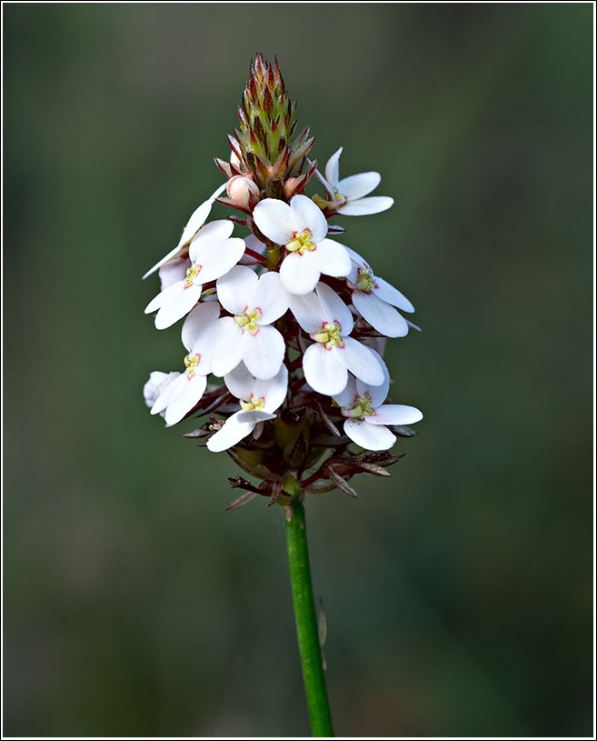Reed trigger plant or Stylidium junceum