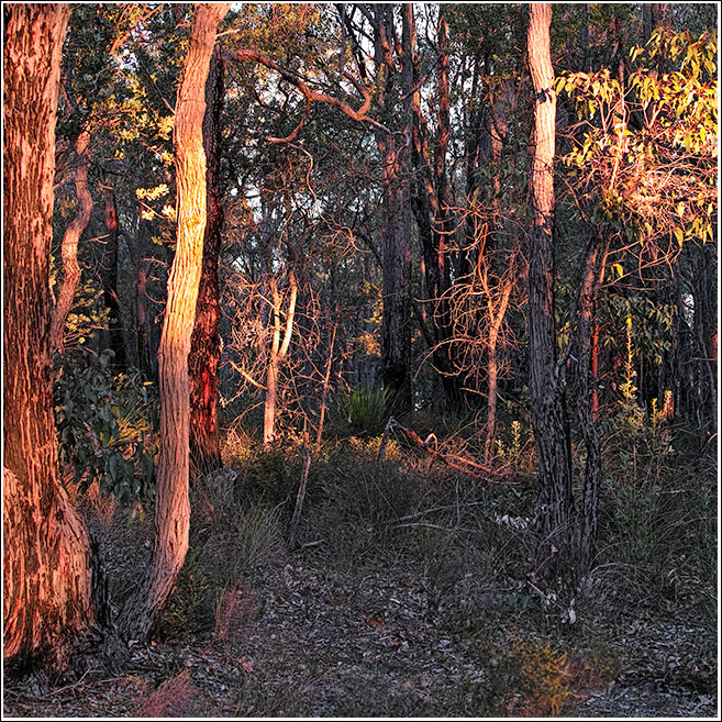 Sunset in the Jarrah forest