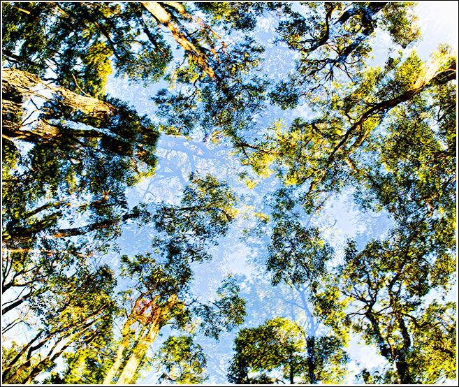 Summer Canopy in the Jarrah forest