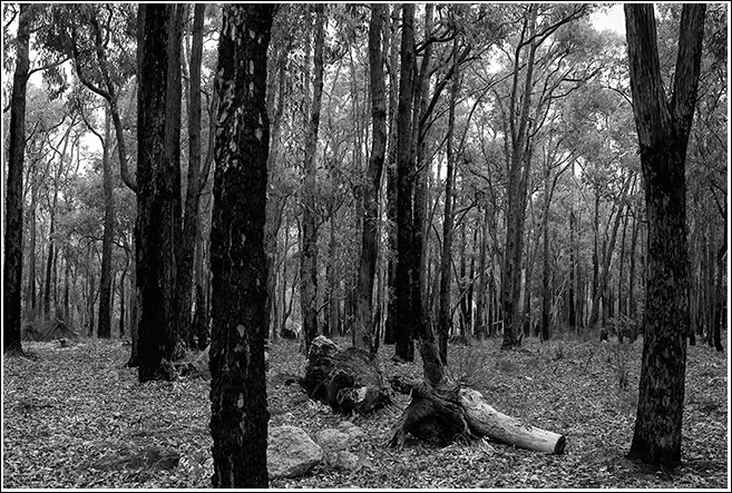 Secondary growth in the Jarrah Forest