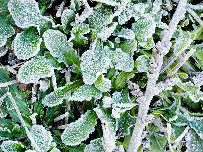 Frozen-weeds-minus-2degrees